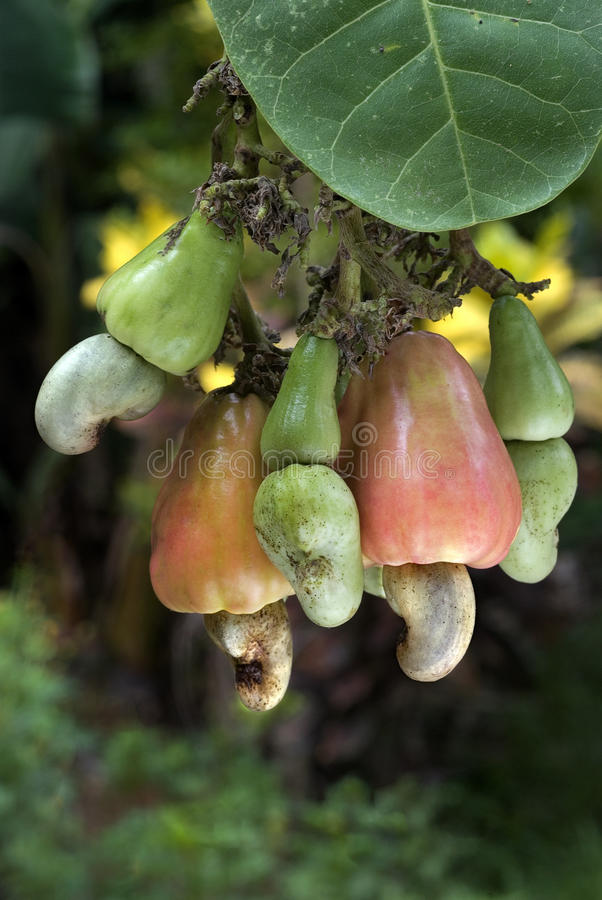 Anacardi e mele sulla pianta immagini stock