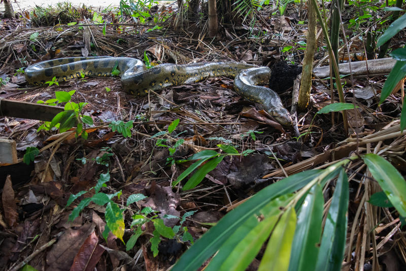 Anaconda stock photos