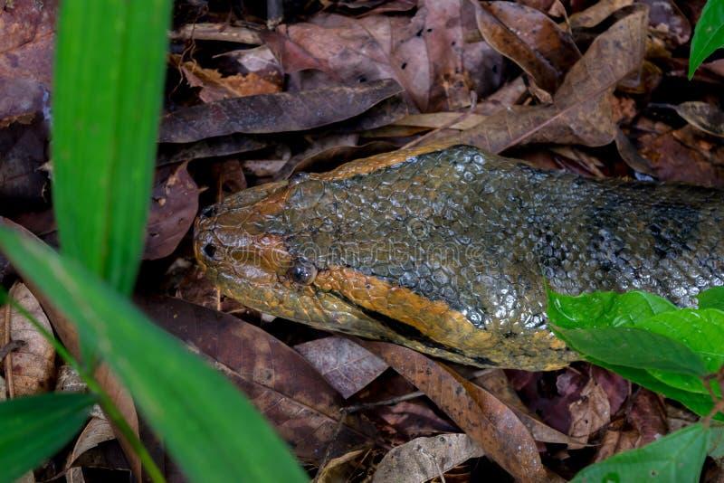 Anaconda stock photography