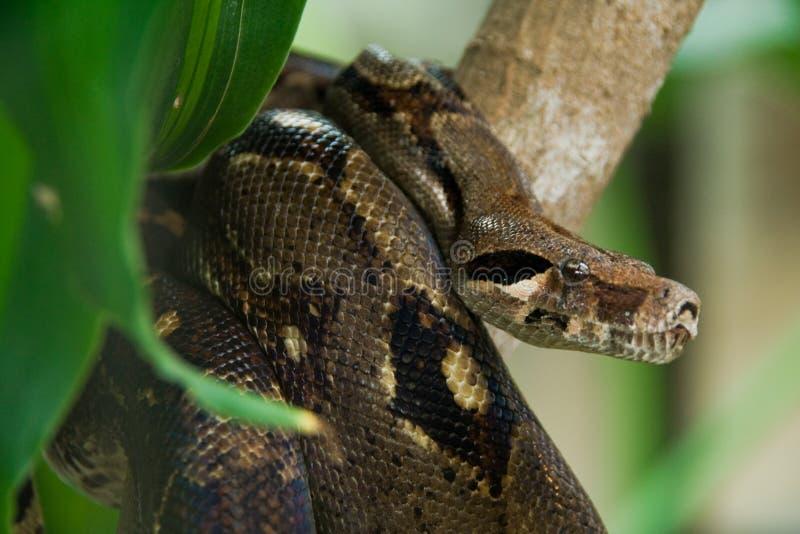 Anaconda de la caza foto de archivo