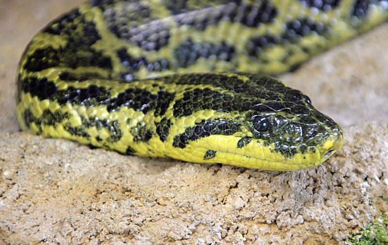 Anaconda giallo 2 fotografia stock libera da diritti
