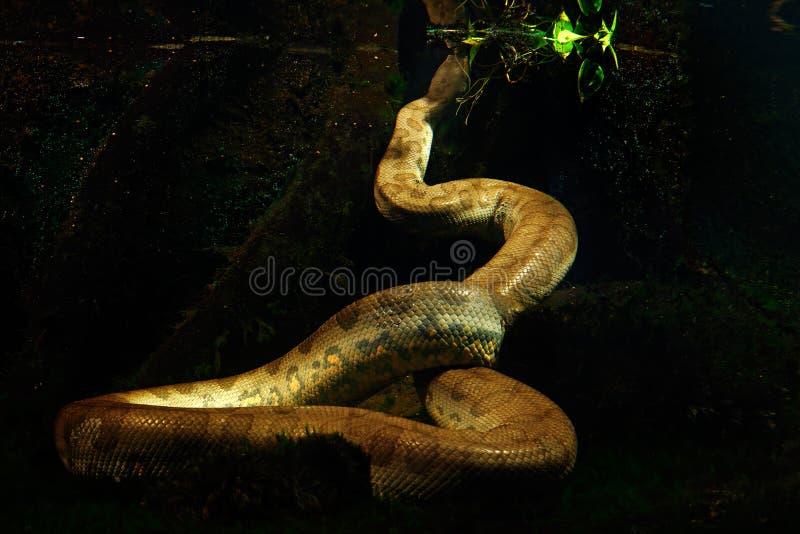 Anaconda verde en el agua oscura, fotografía subacuática, serpiente grande en el hábitat del río de la naturaleza, Pantanal, el B fotos de archivo