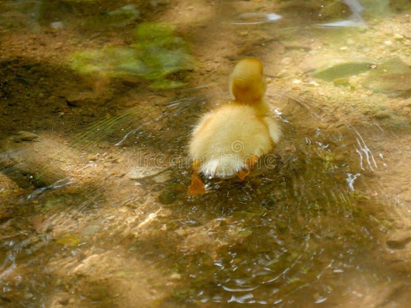 Anadón lindo amarillo que nada en una charca o un lago fotos de archivo