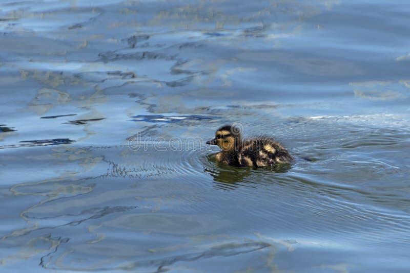 Anadón lindo del pato silvestre del bebé que nada solamente en un lago fotografía de archivo libre de regalías