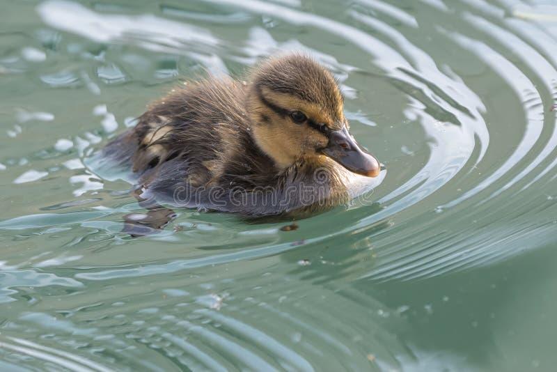 Anadón lindo en el lago fotos de archivo