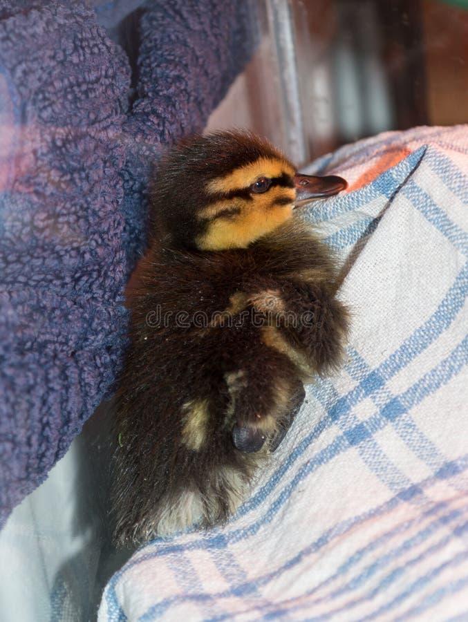 Anadón rescatado del pato silvestre del bebé que es aumentado en cautiverio imagenes de archivo