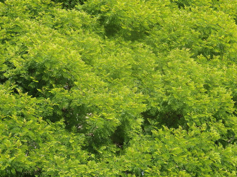 Anadenanthera fotografie stock