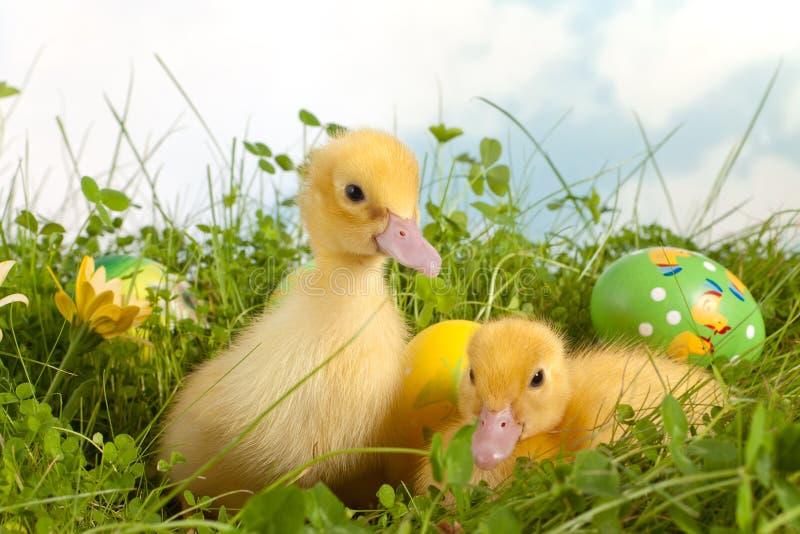 Anadones de Pascua en hierba foto de archivo libre de regalías