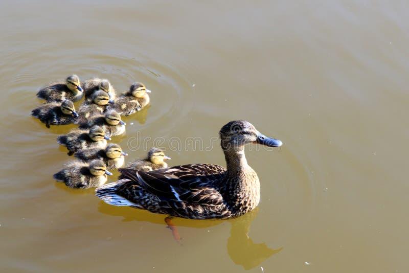 Anadones del pato y del bebé de la madre imágenes de archivo libres de regalías