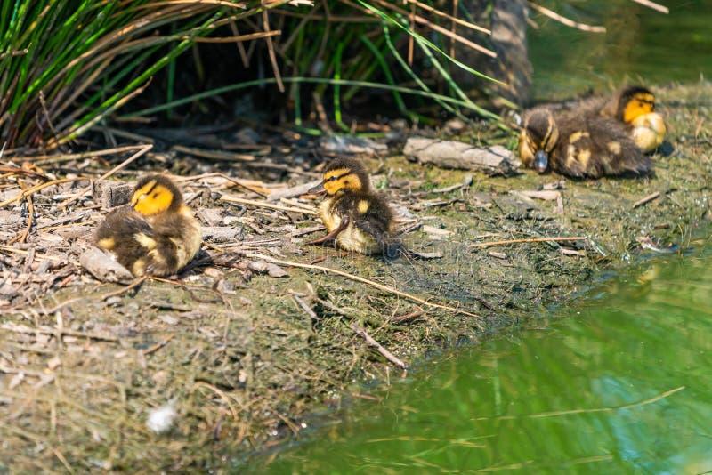 Anadones min?sculos del pato silvestre - platyrhynchos de las anecdotarios foto de archivo