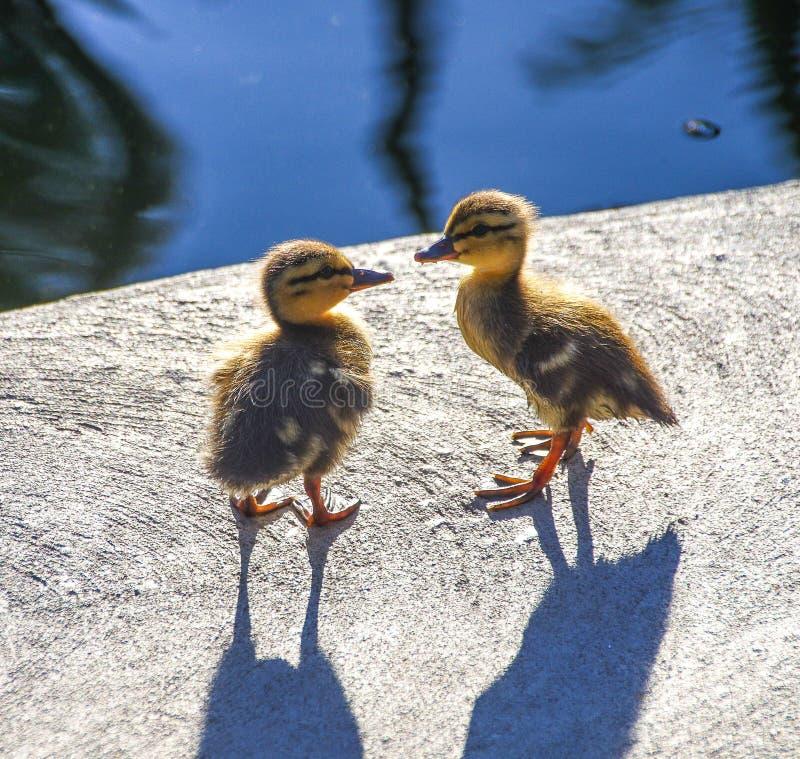 Anadones salvajes del pato silvestre que miran uno a imagen de archivo libre de regalías