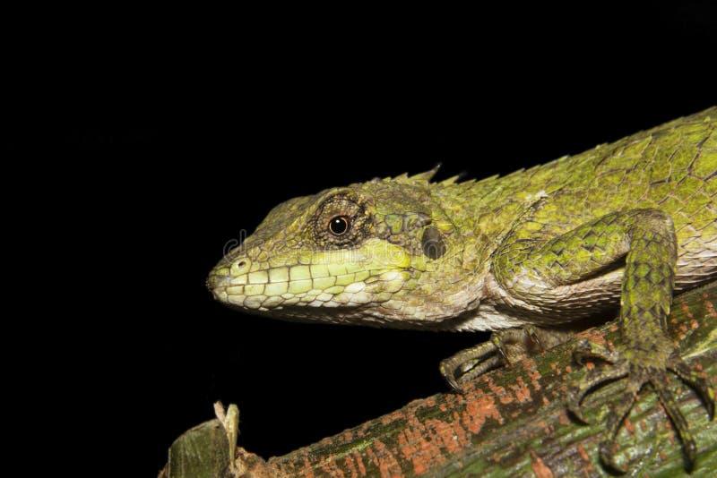 Anaimalai spiny lizard, Salea anamallayana, Agamidae no Parque Nacional Anamudi shola, em Kerala, Índia imagens de stock royalty free