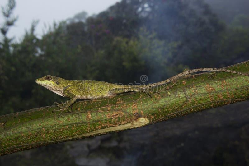 Anaimalai spiny lizard, Salea anamallayana, Agamidae no Parque Nacional Anamudi shola, em Kerala, Índia fotos de stock