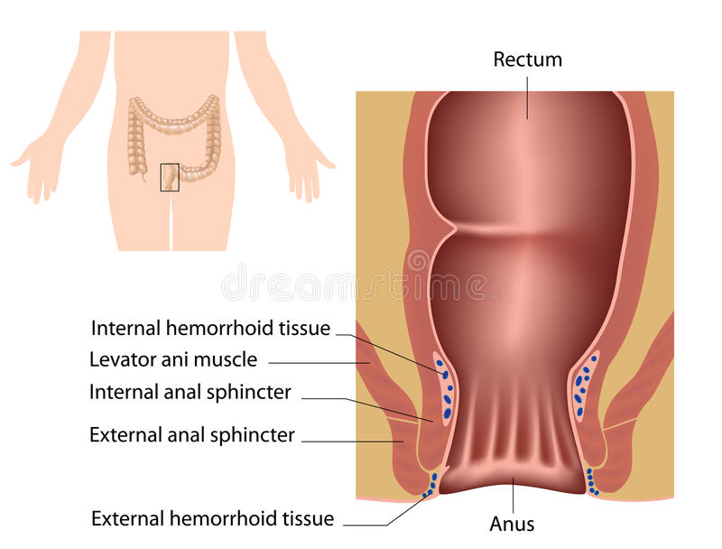 The anal canal. Anatomy of human anal canal royalty free illustration