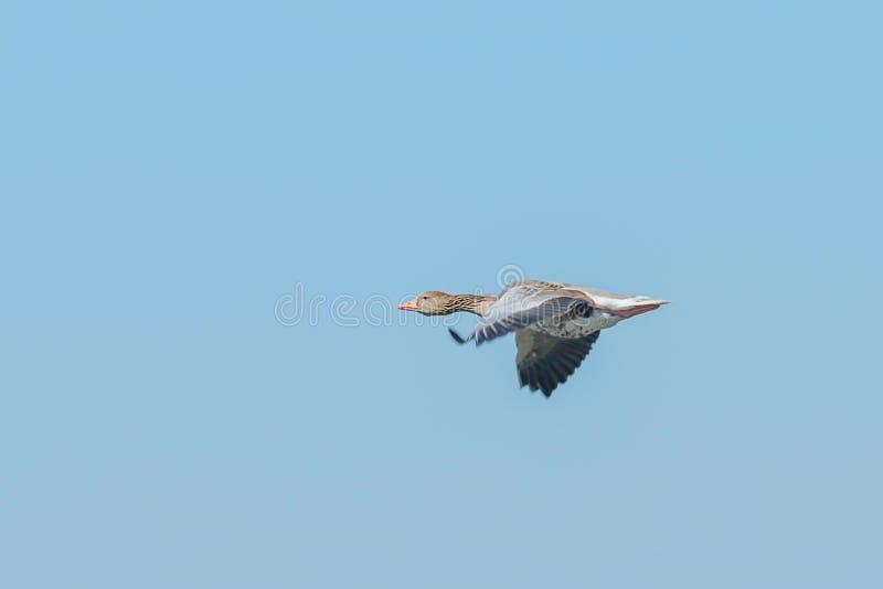 Analizador del vuelo de ganso Greylag foto de archivo