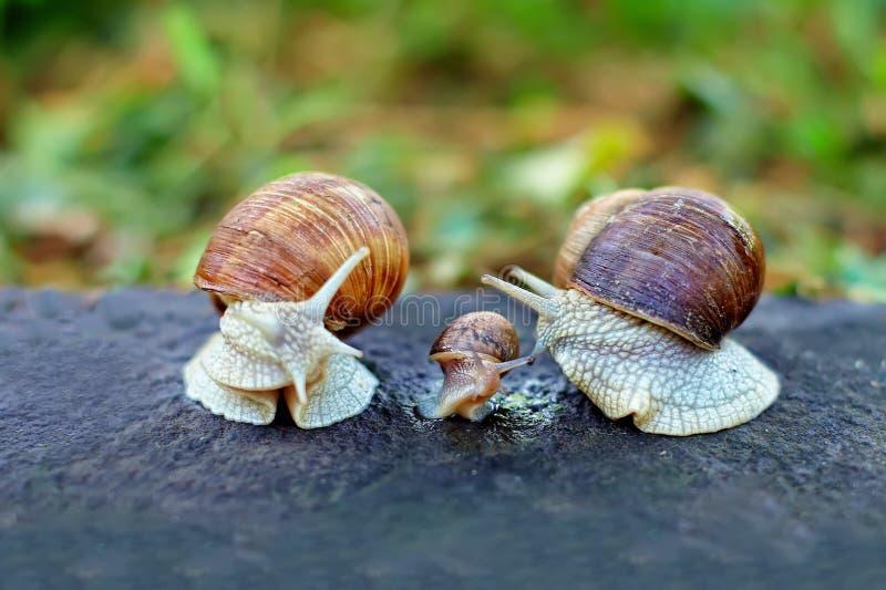 Analogie de famille d'escargot photos stock