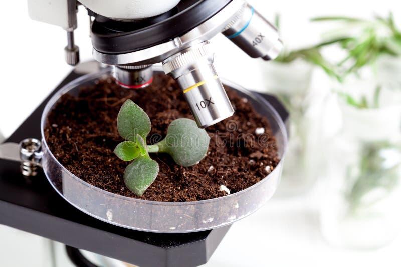 Analyse d'échantillon de sol avec la jeune usine sous le microscope image stock