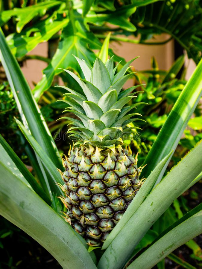 Ananas är en tropisk växt med en ätlig frukt arkivbilder