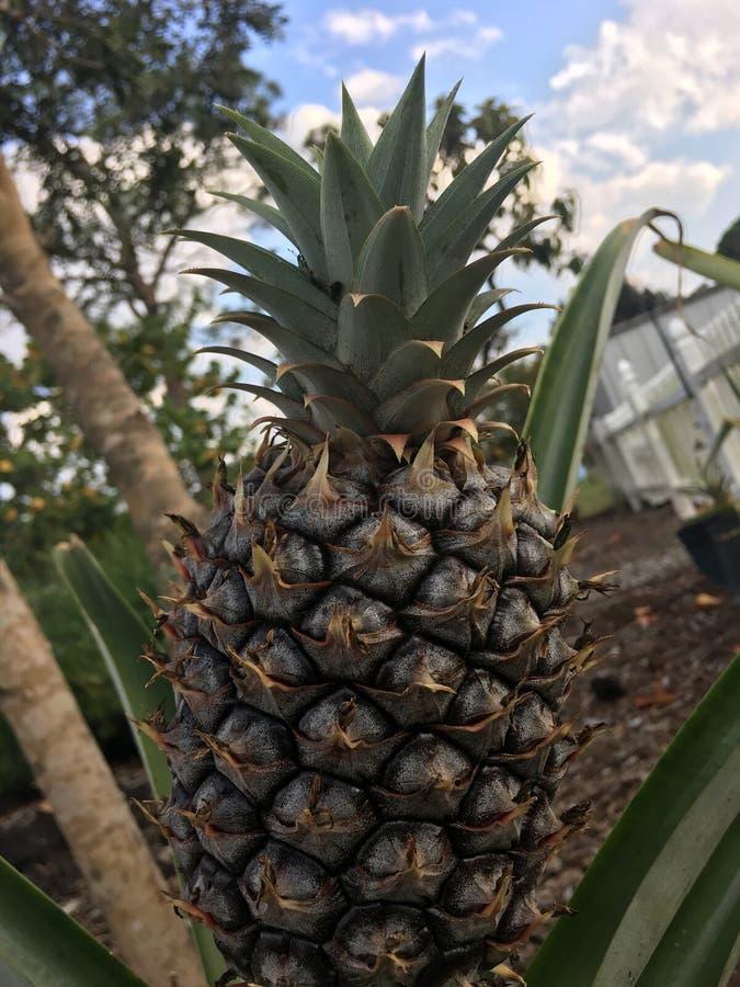 ananas royaltyfri foto