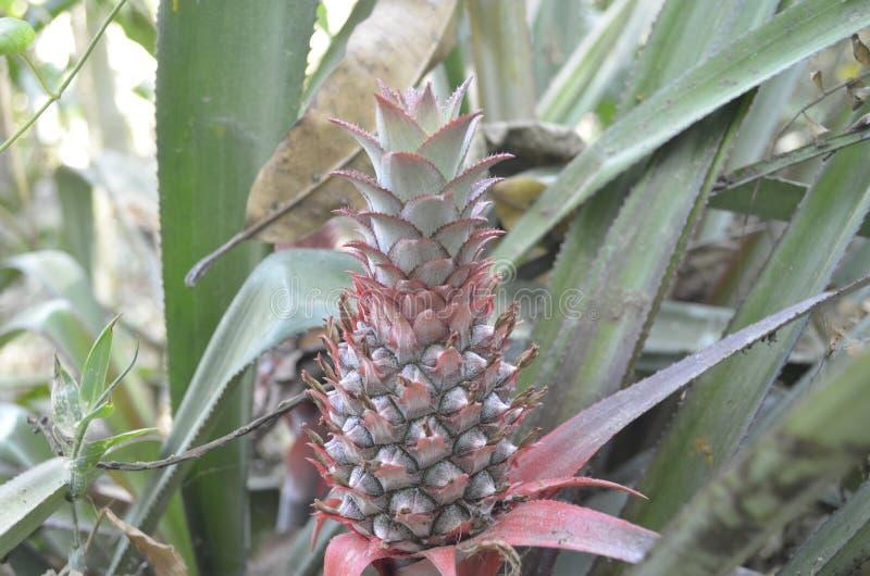 Ananas image stock