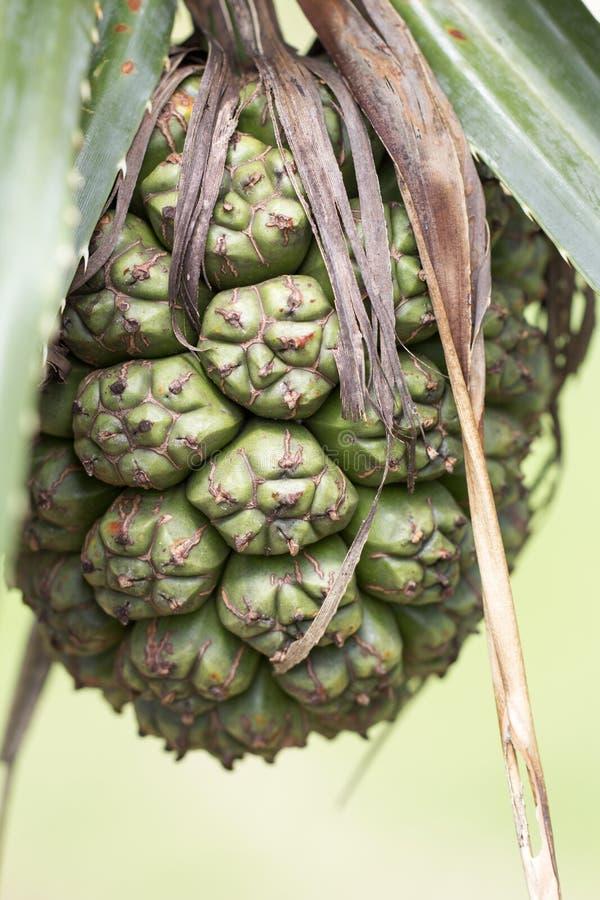 Ananas immagine stock libera da diritti