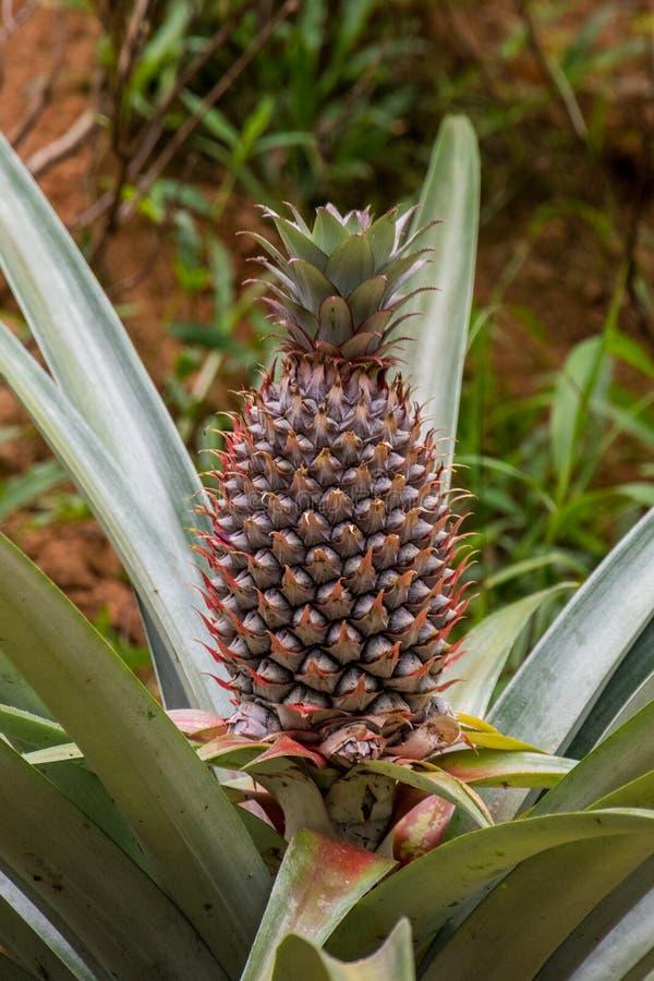 Ananas croissant sauvage dans la jungle photos libres de droits