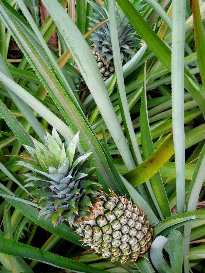 Ananas de penchement photographie stock