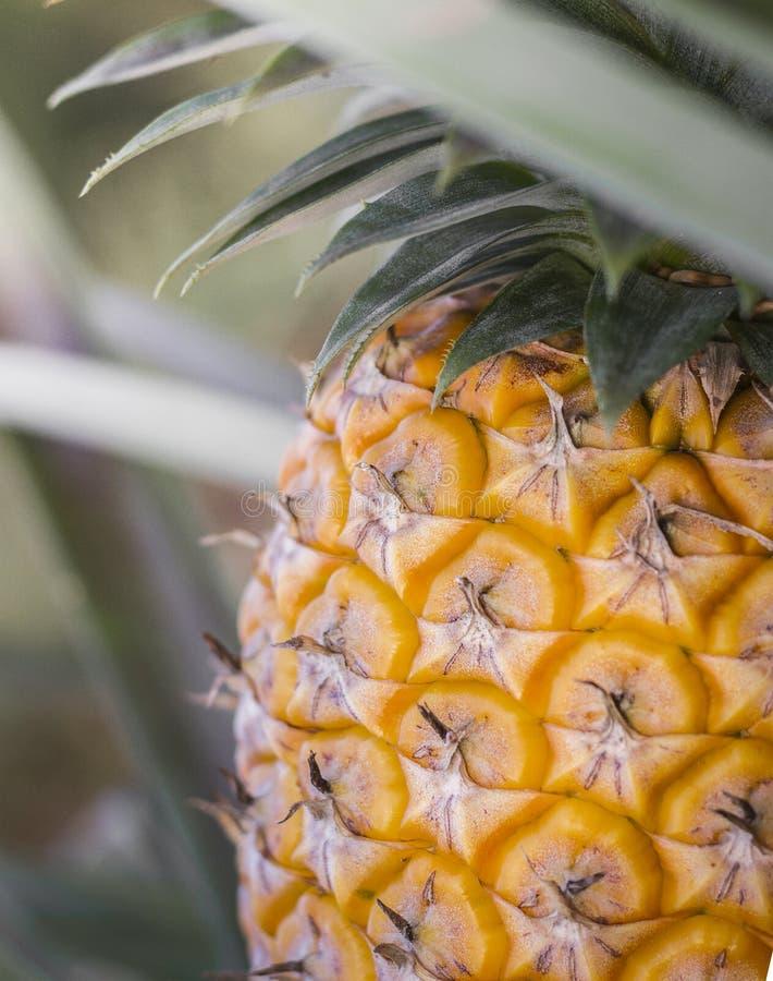 Ananas doux planté dans le jardin images stock