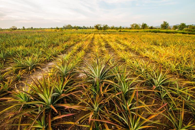 Ananas farm10 royalty-vrije stock foto's
