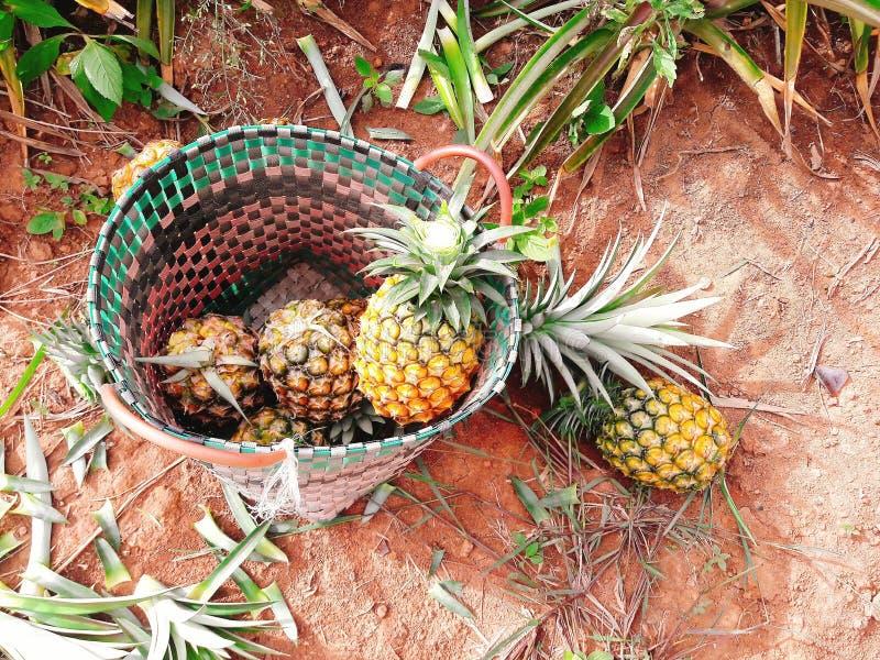 Ananas i en korg läcker frukt royaltyfri bild