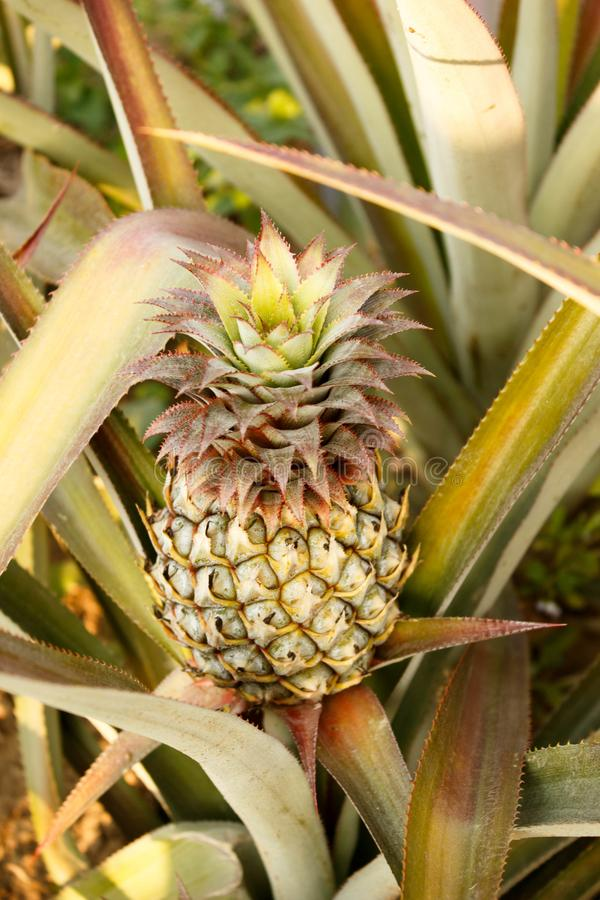 Ananas nära Chiang Rai, i Thailand arkivfoto