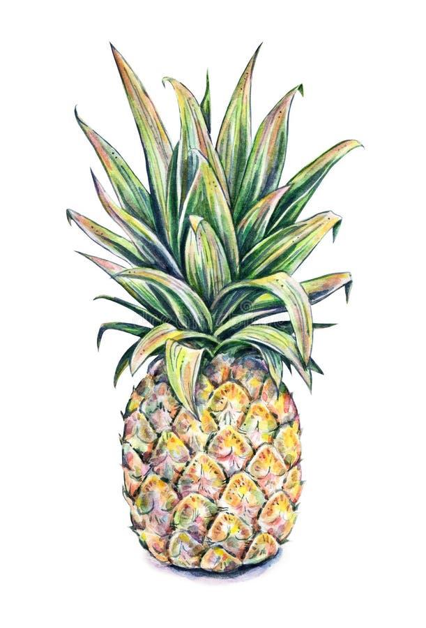 Ananas na białym tle Akwareli colourful ilustracja owoce tropikalne handwork ilustracja wektor