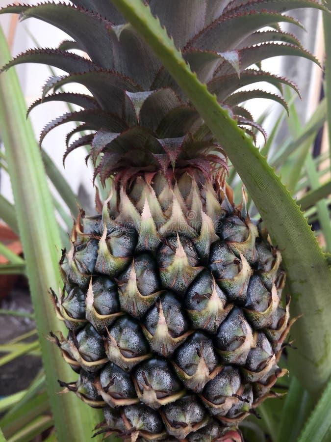 Ananas na drzewnym czekaniu dla żniwa obrazy royalty free