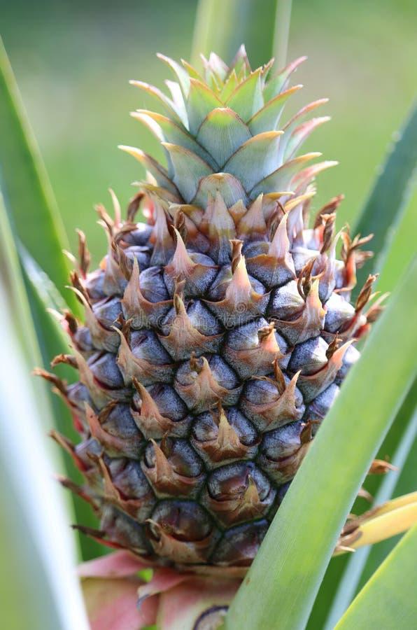 Ananas nel Sun di Florida fotografia stock