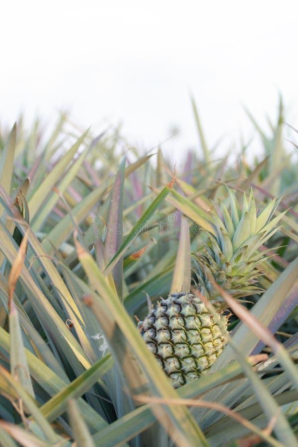 Ananas op gebied -2 stock afbeelding