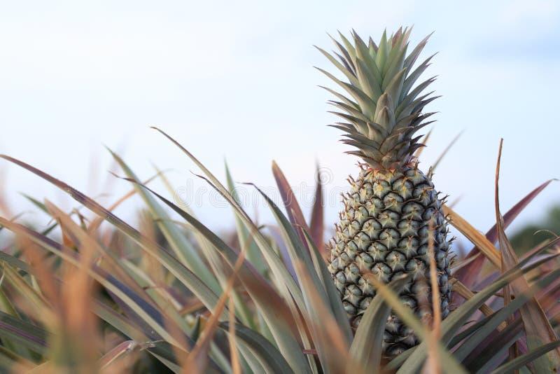 Ananas op gebied -3 stock afbeelding