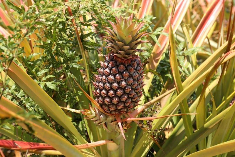 Ananas på ett fält i Mexico arkivbilder
