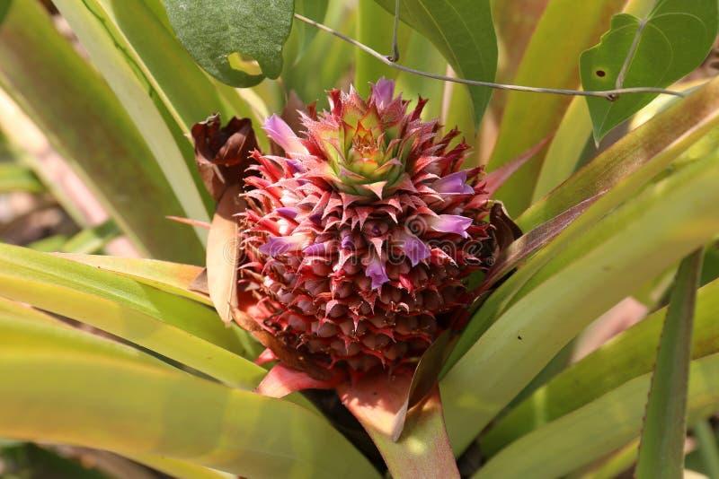 Ananas på ett fält i Mexico fotografering för bildbyråer