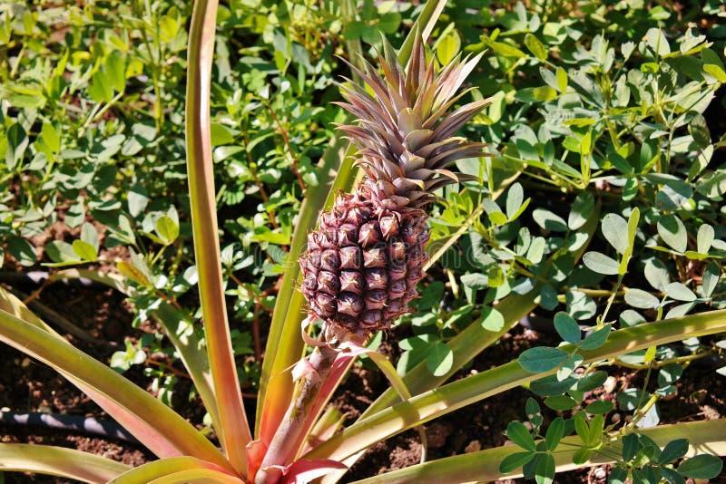 Ananas - Pinneapple-Anlage stockfotografie