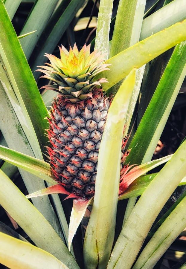 Ananas sauvage Bush dans la jungle photo libre de droits