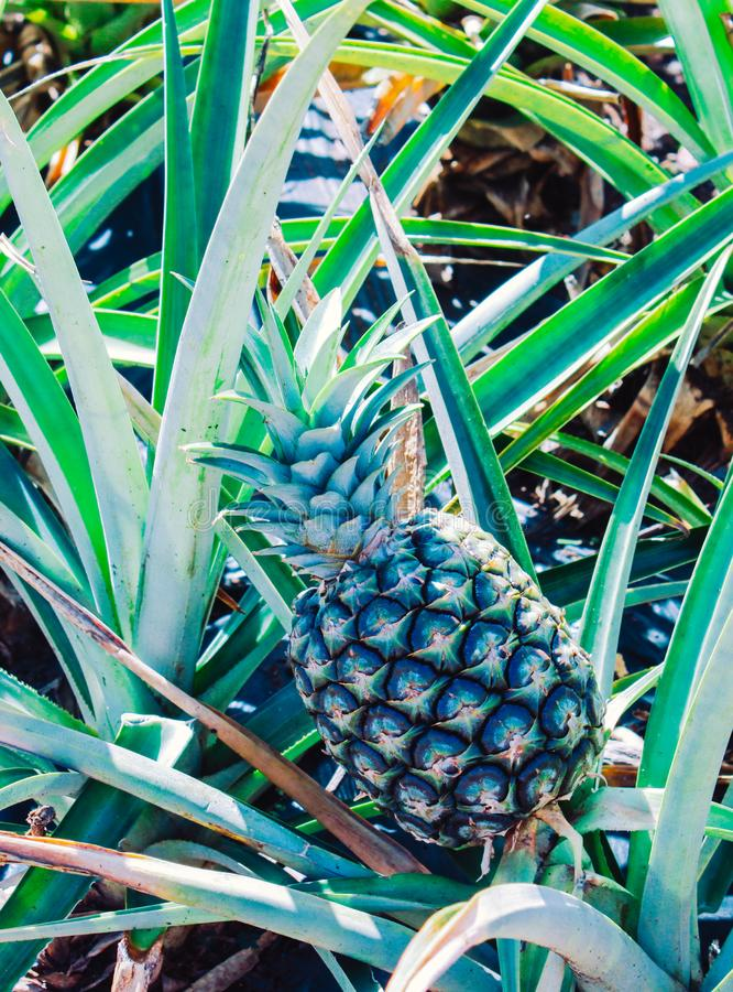 Ananas som växer i Hawaii royaltyfri fotografi