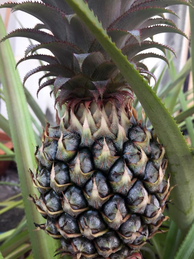 Ananas sur la récolte de attente d'arbre images libres de droits