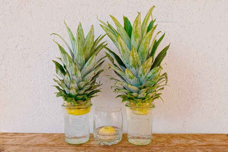 Ananas- und Zwiebeljungpflanzen, die in den Glasgefäßen auf rustikalem hölzernem Regal- und Stuckwandhintergrund wachsen stockbild