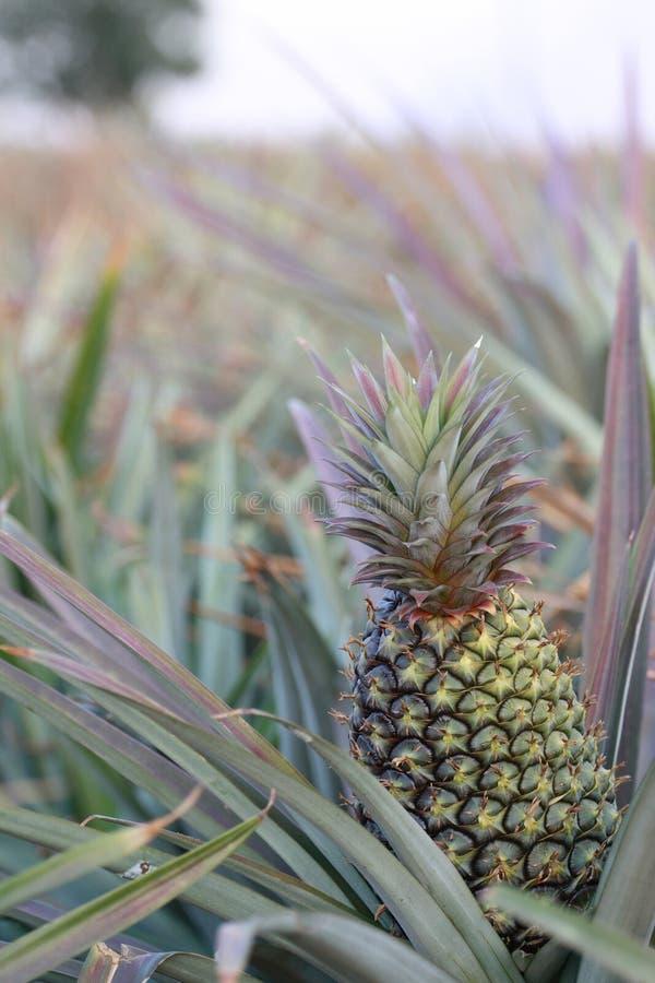 Ananas w polu -1 zdjęcia royalty free