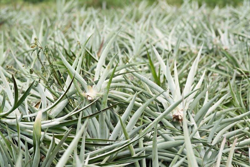 Ananasa gospodarstwo rolne po żniwa fotografia stock