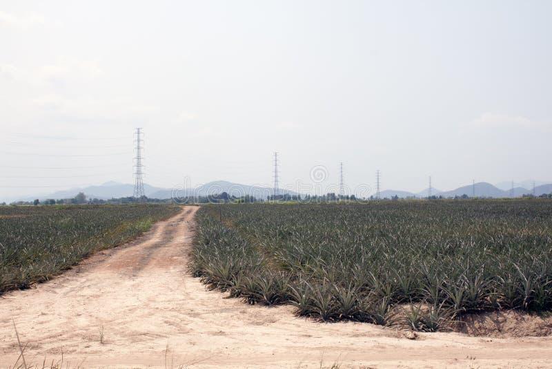 Ananasaanplanting royalty-vrije stock fotografie