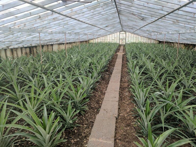 Ananasaanplanting de Azoren royalty-vrije stock fotografie