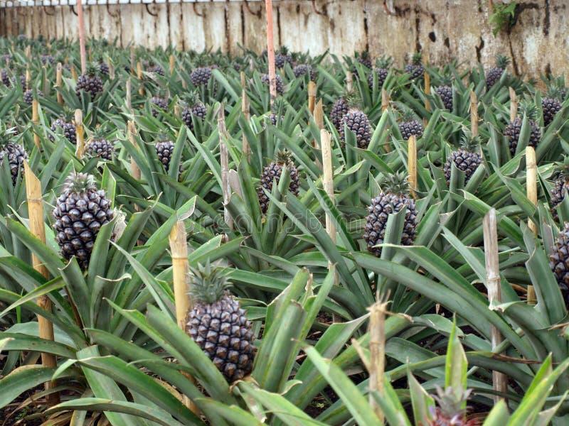 Ananasaanplanting Ponta Delgada de Azoren Portugal stock fotografie