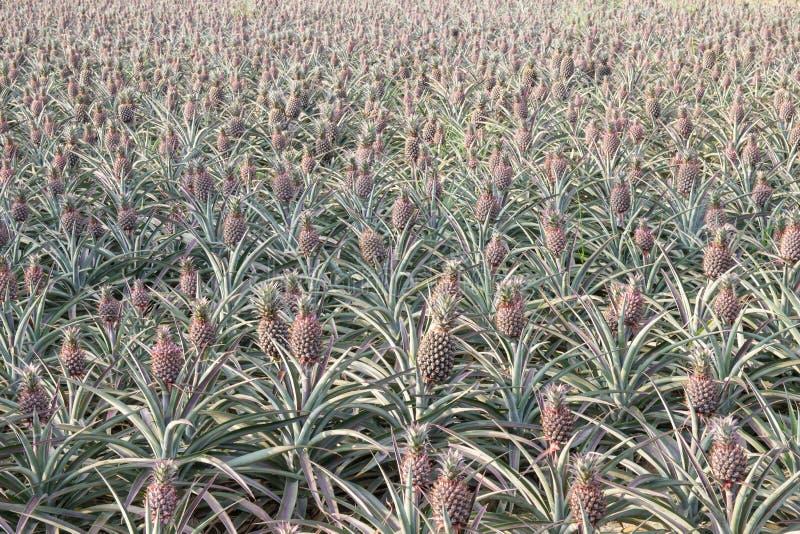 Ananasfält arkivbilder