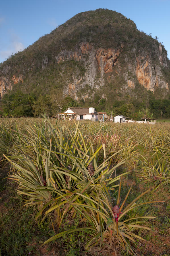 Ananasfält i Kuba arkivfoton